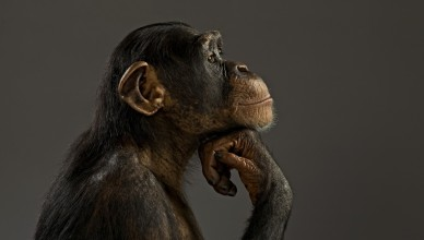 primates-thinking-monkey-animal-primate-cute-gde-fon-hd-desktop