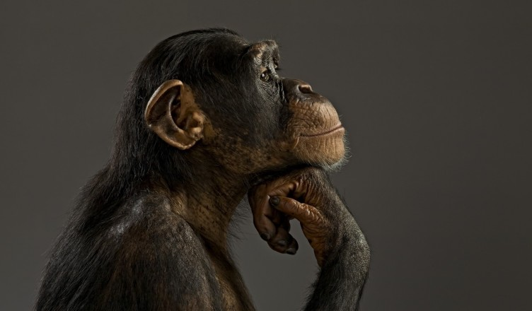primates-thinking-monkey-animal-primate-cute-gde-fon-hd-desktop